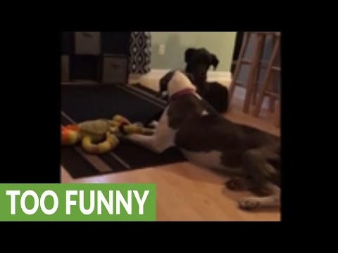 Mamma Great Dane won't share toy with her puppy