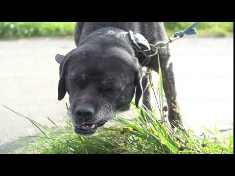 big black mongrel cur dog on chain outdoors eating grass hungry puppy searching vitamins