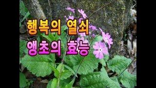사포닌 함유,아름다운 야생화,앵초의 효능 정보.