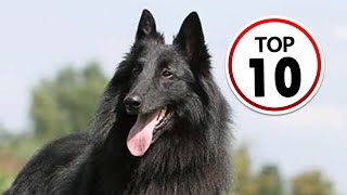 10 Belgian Sheepdog Facts You Didn't Know!