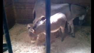 Baby Eeyore the donkey