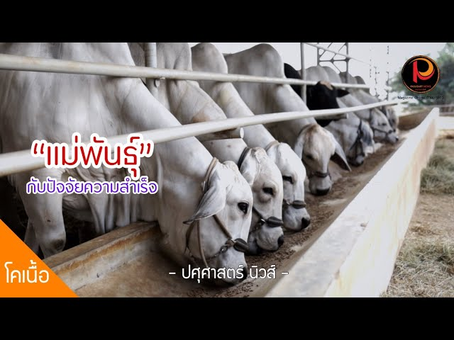 """ปัจจัยความสำเร็จกับการจัดการแม่วัวเนื้อ สู่เป้าหมาย """"ลูกวัว 1 ตัว ต่อแม่ ต่อปี"""