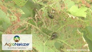 Popillia japonica, l'eradicazione è impossibile
