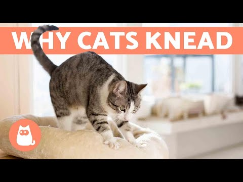 Why Does My Cat KNEAD Me?  Origin and Meanings