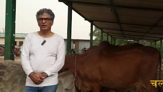 देसी गायों ने बनाया Celebrity - 4000 रुपए KG देसी गाय का घी बेच रहे है -  दूर दूर से आते है मिलने