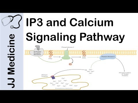 Inositol Triphosphate (IP3) And Calcium Signaling Pathway | Second Messenger System