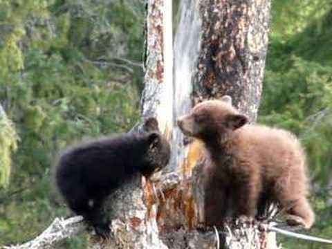 black bear cubs at Yellowstone