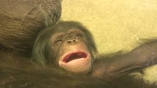Download Video 東山チンパンジー 双子の赤ちゃん⑦ Chimpanzee twin baby MP3 3GP MP4
