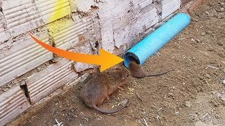 Awesome Quick PVC Rat Trap - Rat Trap In Action