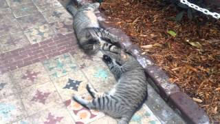 Polydactyl Cats Fight at Ernest Hemingway House