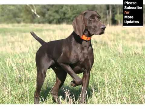German Srthaired Pointer Dog Breed | Dog Type Set Of Picture ...