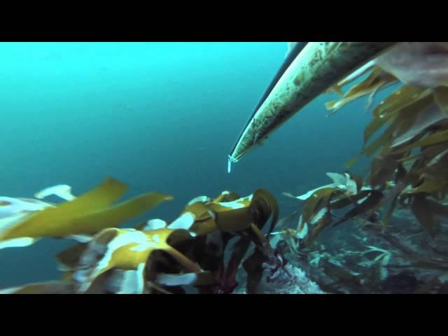 spearfishing in Kristiansund 7.10.14