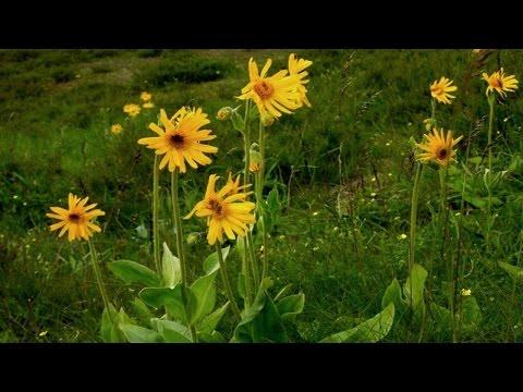 Вопрос: Арника горная, что за растение, как выглядит?