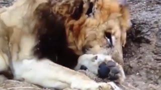 バッファローの大群に襲われたライオン 【関連動画】 フグの大群に襲わ...