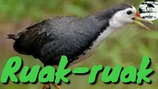 Gambar cover Suara pikat burung Ruak-ruak Ampuh josss