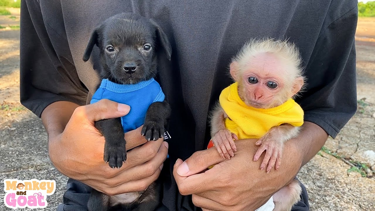 Cute baby monkey and puppies