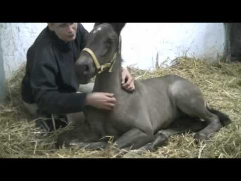 2012 PRE Horses For Sale, Spanish Horses For Sale, Andalusian Horses For Sale