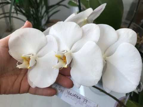 Купила 2 уценки - орхидеи фаленопсис и башмачек, не пересаживаю, довольна)))