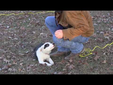 First Training Session With Border Collie Puppy