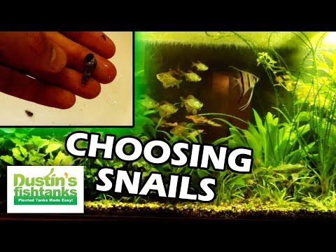 How to choose snails for your Planted Tank: Malaysian Trumpet Snails, Pond Snails, Species Sunday