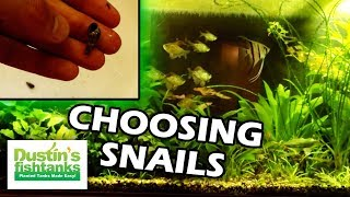 Snails In Your Planted Tank, Malaysian Trumpet Snails, Pond Snails Snails Species Sunday