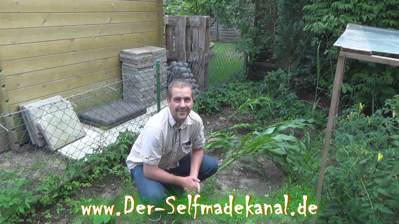 Mais Anbau im Garten Artikelbild