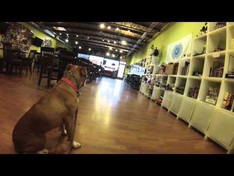 Hope's Morning Coffee; Pit bull visits a coffee shop in Greensboro, NC