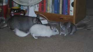 CHINCHILLA PLAYTIME!