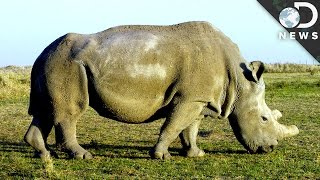 Can The Last 4 Northern White Rhinos Save The Species From Extinction?