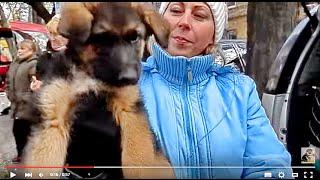 ЩЕНКИ-КРЕПЫШИ. Немецкая овчарка Щенки 2 мес. Продажа собак. Odessa.