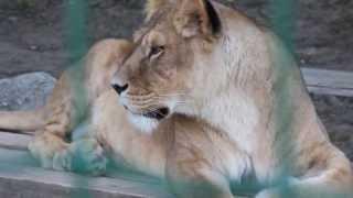 Lev púšťový, Panthera leo, Kosice ZOO (HD)
