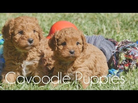 Cavoodle puppies and their toys!!