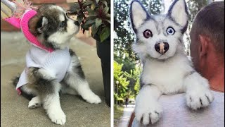 Funny And Cute Husky Puppies Compilation #2