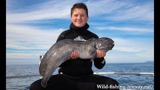 Морская рыбалка в Норвегии Зубатка Wild Fishing Norway