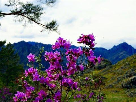 Цветение маральника на Алтае.