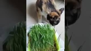 Cat eating wheatglass #2