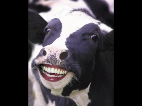 5 fun facts about cows. - YouTube