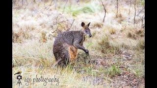 Wallaby feeding