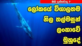 Worlds Greatest Blue Whale colony - Discovered in Sri Lanka