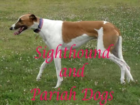 Breeds of dogs. Sighthounds & Pariah dogs