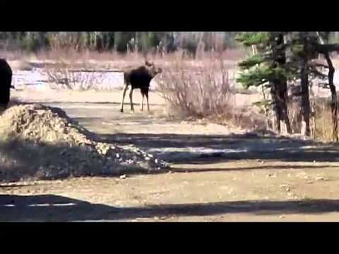 Alaska Moose Up-Close & Personal 4-25-12