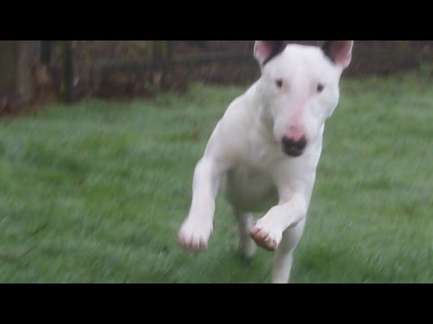 English Bull Terrier Shilogh  at A & B Dogs Boarding & Training Kennels.