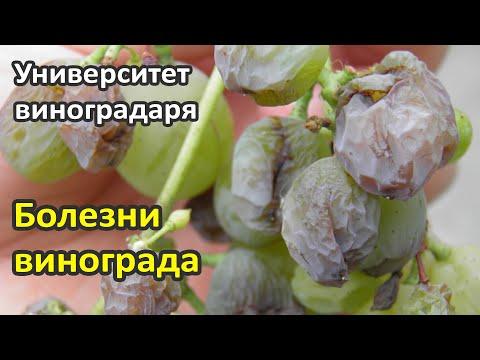 12. Болезни винограда, профилактика и борьба с ними