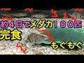 ナンシオヤニラミ 飼育記録#3 メダカや冷凍エビ捕食! 「熱帯魚」「アクアリウム」 coreoperuca,whiteh