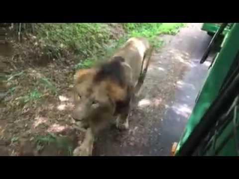 The lion in karnataka forest