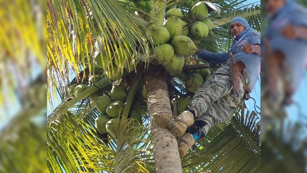 el Tumba Cocos 🥥🥥 de 🇵🇷 mas de 3 Millones de Cocos Tubaos 😱 Trepando Palmas 🌴Mira como lo Hace