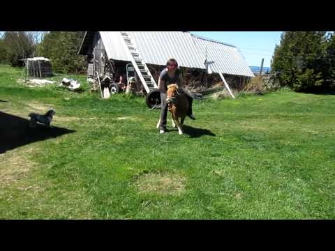 how to train a mini horse to ride