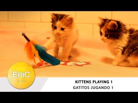 Kittens Playing 1 / Gatitos Jugando 1 (HD)