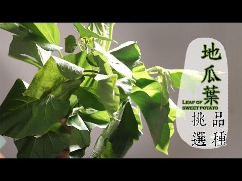 【夏】5招挑選地瓜葉,再教怎麼保存