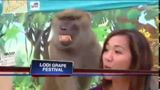 Monkey harassing correspondence directly on the air | Baboon gropes TV reporter live on air